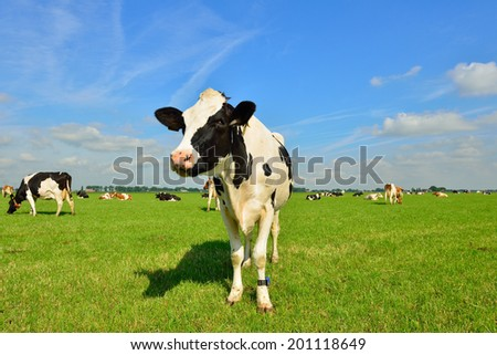 cows on farmland - stock photo