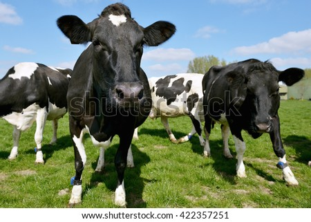 cows on farmland - stock photo