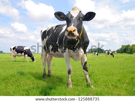 Cows on field - stock photo