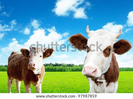cows on field of spring grass - stock photo
