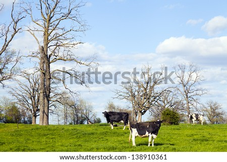 Cows on field with blue sky - stock photo