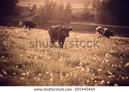 Cows on  grass with dandelions - stock photo
