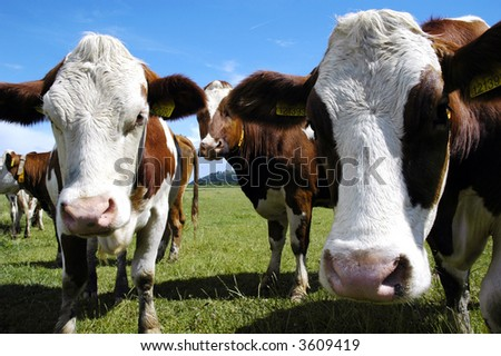Cows on green grass and summer blue sky. Landscape from Czech republic
