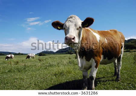 Cows on green grass and summer blue sky. Landscape from Czech republic - stock photo
