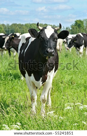 Cows on green grass pasture over blue sky - stock photo