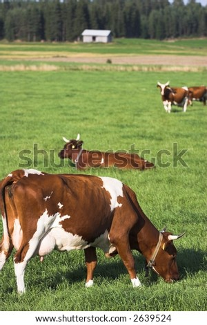 cows on green lawn - stock photo