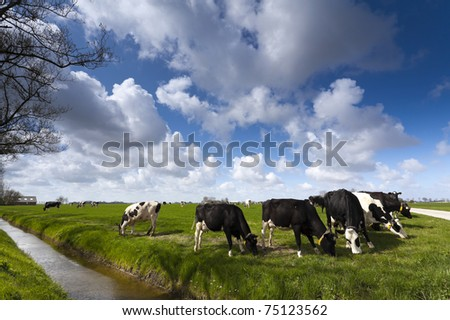 Cows on green meadow with a typical Dutch clouded sky - stock photo