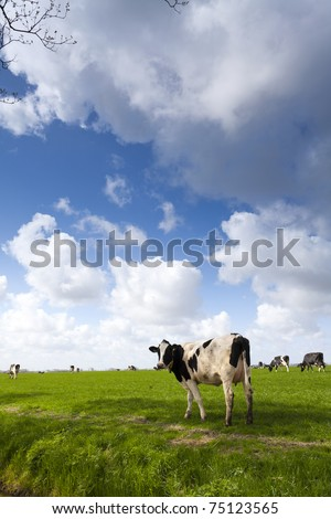 Cows on green meadow with a typical Dutch clouded sky