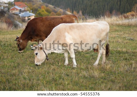 cows on green pasture - farm