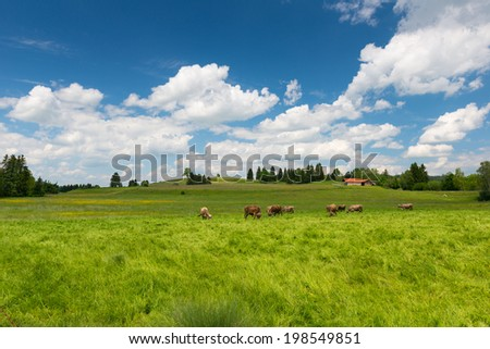 cows on large meadow with green grass and blue sky at spring - stock photo