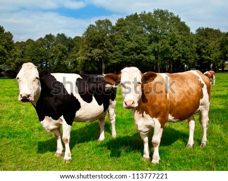 cows on meadow. - stock photo