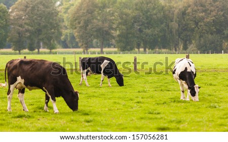 Cows on meadow.Grazing calves - stock photo