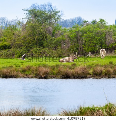 cows on meadow.  Herd of cows grazing - stock photo
