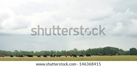 Cows on meadow with green grass  - stock photo