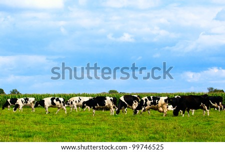 Cows on meadow with green grass.  Grazing calves. - stock photo