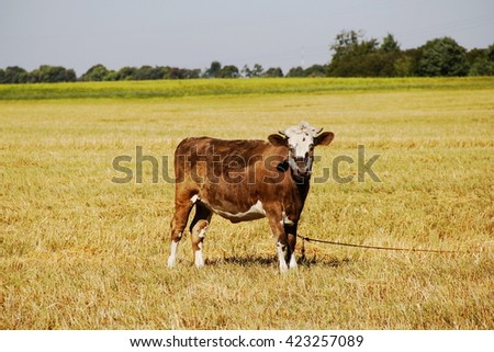 Cows on meadow with yellow grass - stock photo