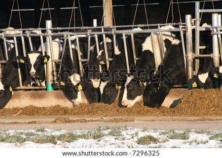 cows on modern dairy farm eating silage - stock photo