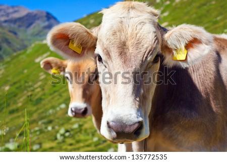 Cows on mountain meadow portrait. - stock photo