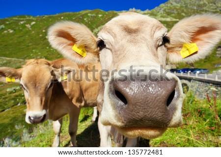 Cows on mountain meadow portrait. Focus on eyes. - stock photo