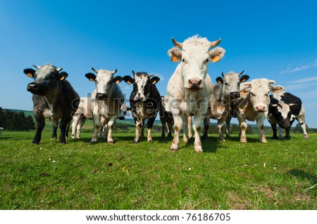 Cows on on farmland in the Ardennes, Belgium - stock photo