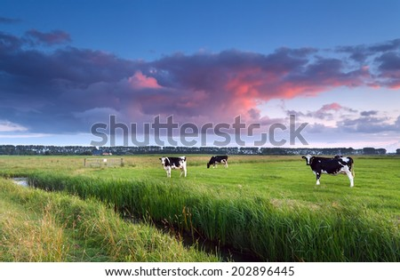 cows on pasture at sunset in summer - stock photo