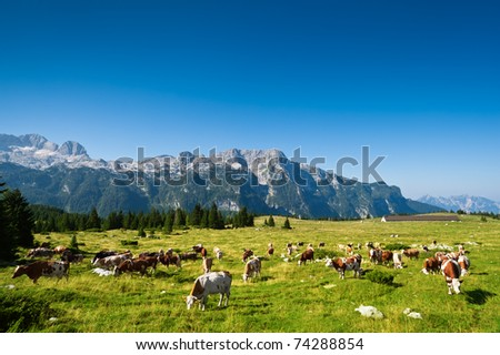 Cows on pasture in beautiful mountain meadow of Montasio plateau, Sella Nevea, Italy. - stock photo