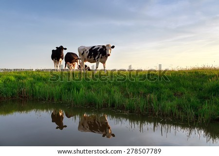 cows on pasture reflected in river at sunset - stock photo