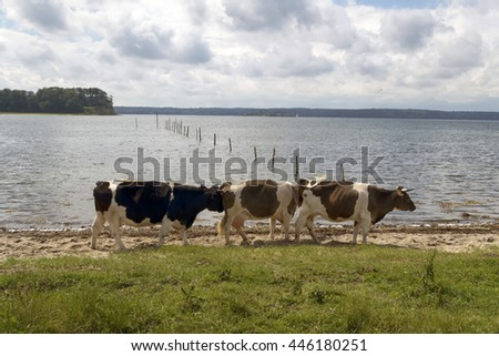 Cows on the beach close to Little Belt in Denmark - stock photo