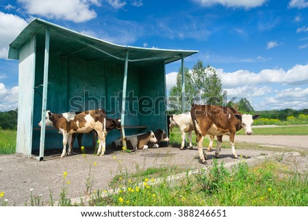 Cows on the bus stop - stock photo