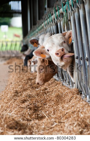 Cows on the farm eating through the fence - stock photo