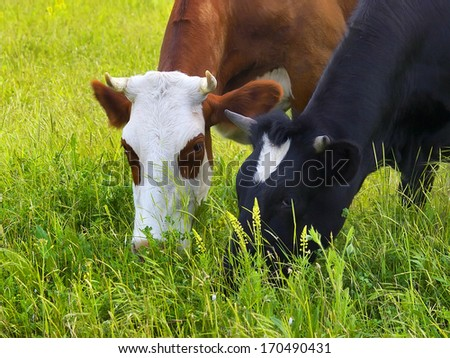 Cows on the field. Agricultural composition - stock photo