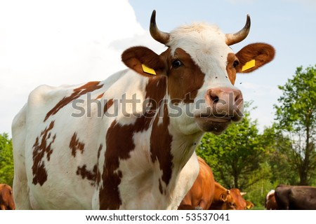 Cows on the Field,  cows eat grass; - stock photo