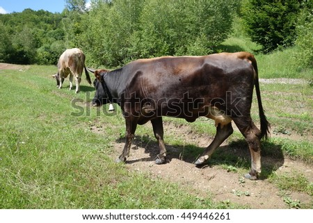 Cows on the green meadow. Transcarpathia