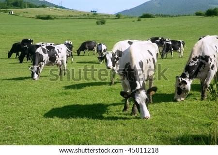 Cows on the meadow fresian in black and white females - stock photo