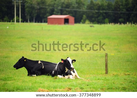 Cows on the meadow,New Zealand. - stock photo