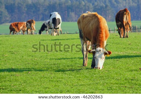 cows out at grass - stock photo