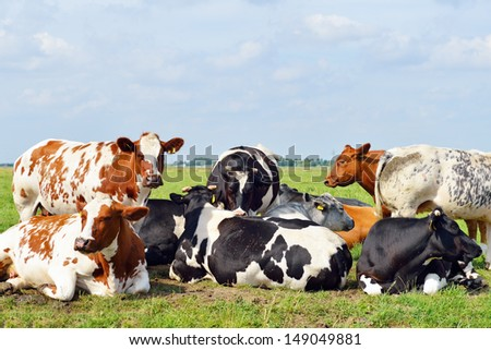 cows outdoors in meadow - stock photo