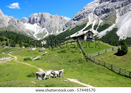 Cows pasturing near the Odle mountains, Alto Adige, Italy - stock photo