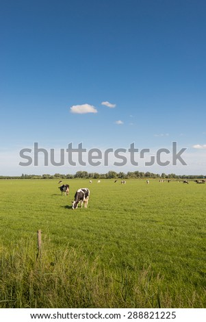 Cows quietly enjoying the fresh spring grass of the meadow. - stock photo