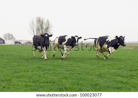 cows running and jumping happy out of winter stable into grassland