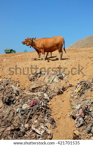 Cows scavenge for food amid hazardous waste and toxic trash as a garbage truck unloads at the biggest and most polluted landfill site on the holiday resort island of Bali, Indonesia. - stock photo