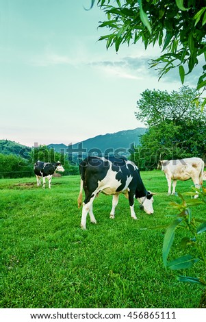 Cows seen eating grass on a green filed at a dairy farm in the mountains, beautiful natural scenery  - stock photo