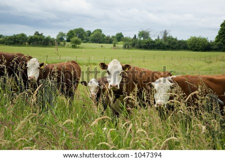 cows standing on the meadow and pasturing - stock photo