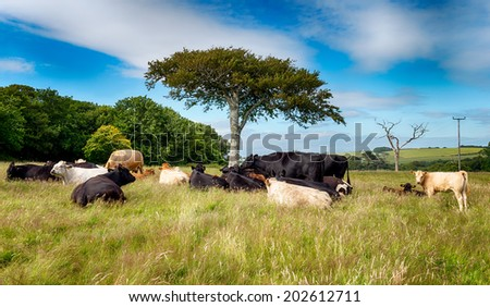Cows under a tree in the English countryside in June at Gribbin head in Cornwall - stock photo