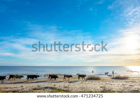 cows walking on the beach