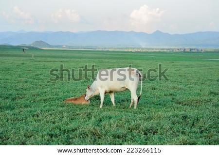 Cows were field - stock photo