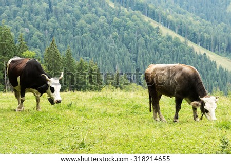 Cows with bells are grazing in the meadow on the hillside among the trees - stock photo