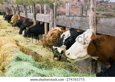 Cows with his tongue hanging. America, Utah - stock photo
