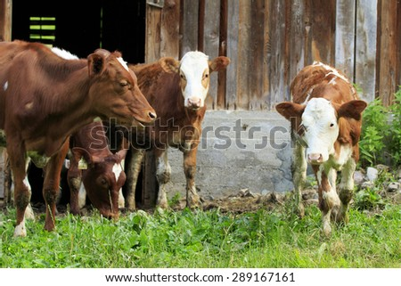 Cows, young calves standing outside a barn - stock photo