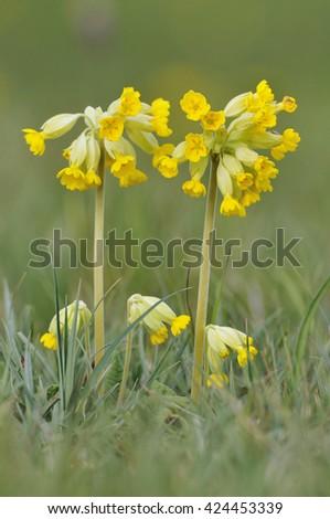 Cowslip - Primula veris - stock photo